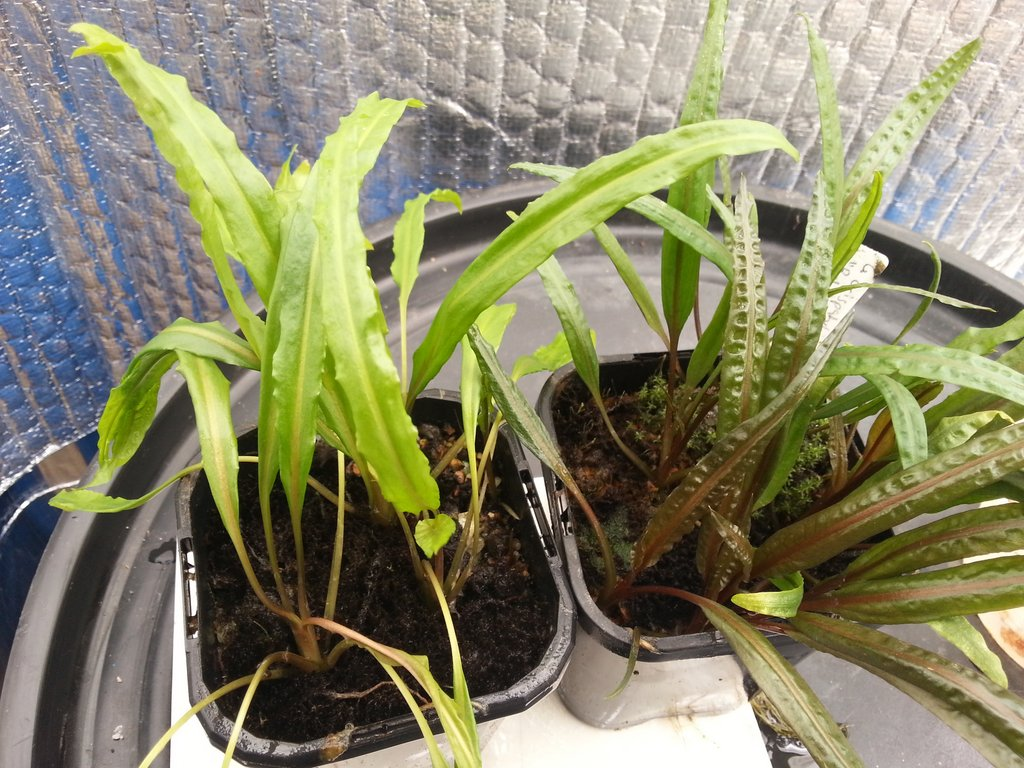 Cryptocoryne crispatula var. flaccidifolia and balansae