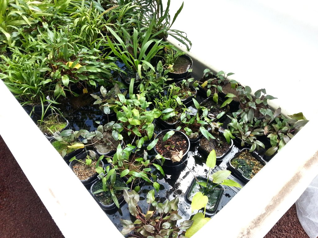 emersed cryptocoryne growing in a big plastic tub